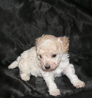 Home for WB Poodles,Breeder of Fine Quality Poodles,Tiny Toy